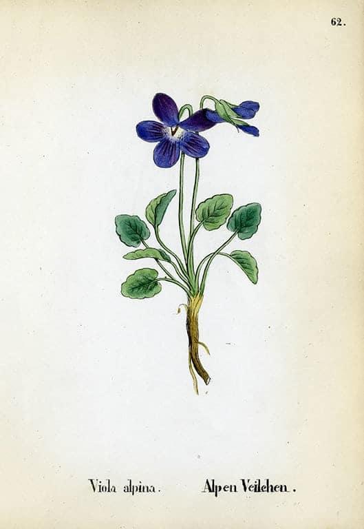 Alpine Flowers BotAF16 - Framed Artwork from Interior Elements, Eagle WI