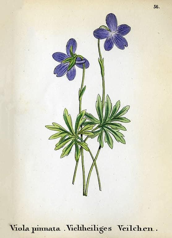 Alpine Flowers BotAF20 - Framed Artwork from Interior Elements, Eagle WI