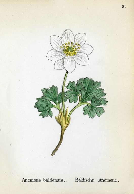 Alpine Flowers BotAF22 - Framed Artwork from Interior Elements, Eagle WI