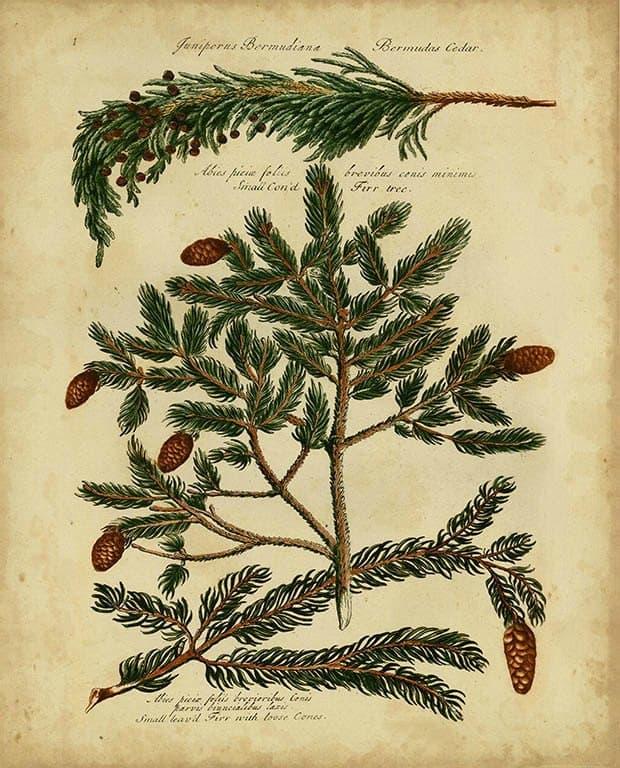 Pine Cone Conifers BotAC1 - Framed Artwork from Interior Elements, Eagle WI