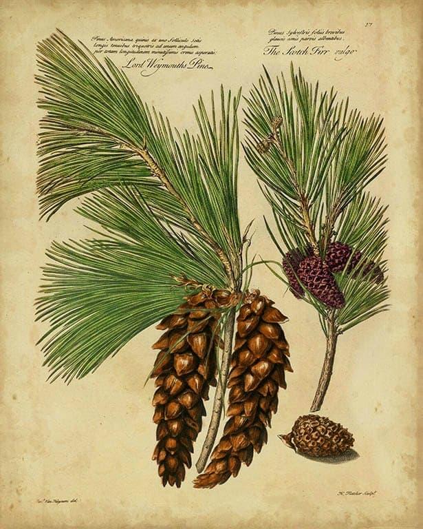 Pine Cone Conifers BotAC3 - Framed Artwork from Interior Elements, Eagle WI