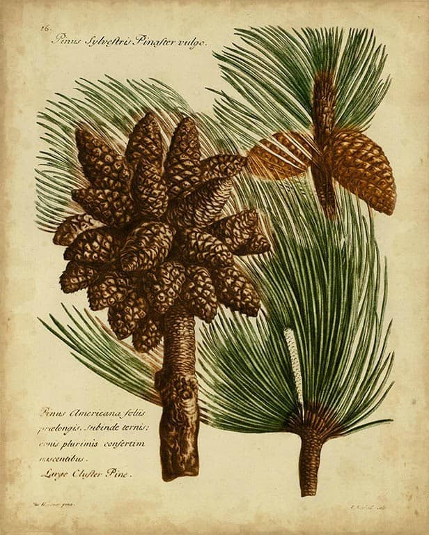 Pine Cone Conifers BotAC4 - Framed Artwork from Interior Elements, Eagle WI