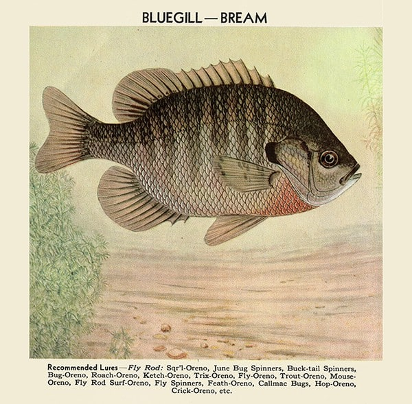 Fish-Bluegill-FishBG - Framed Vintage Artwork from Interior Elements, Eagle WI