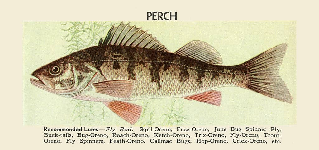 Fish-Perch-FishP - Framed Vintage Artwork from Interior Elements, Eagle WI