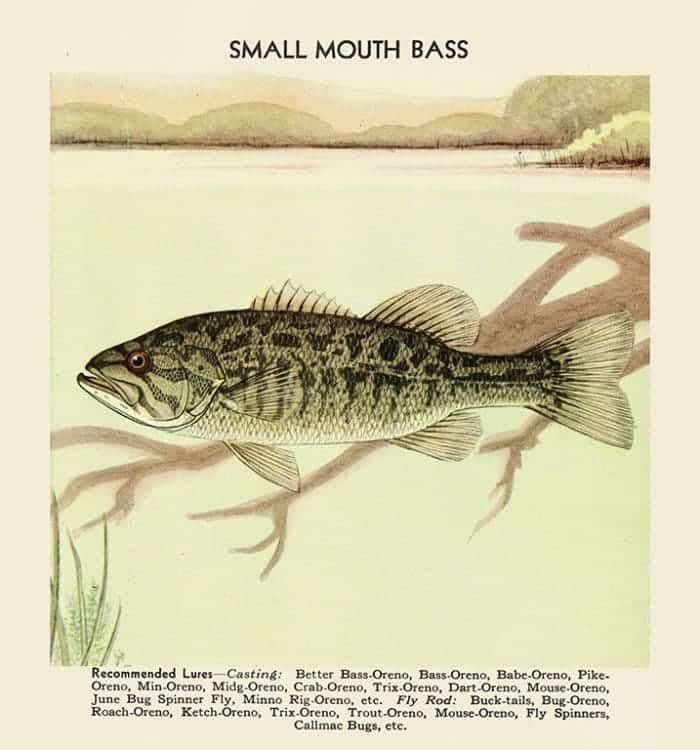 Fish-Small-Mouth-Bass-FishSMB - Framed Vintage Artwork from Interior Elements, Eagle WI