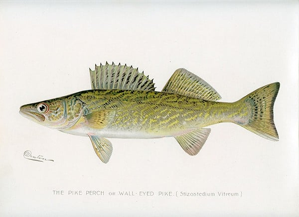 Fish-Walleye-FishW - Framed Vintage Artwork from Interior Elements, Eagle WI