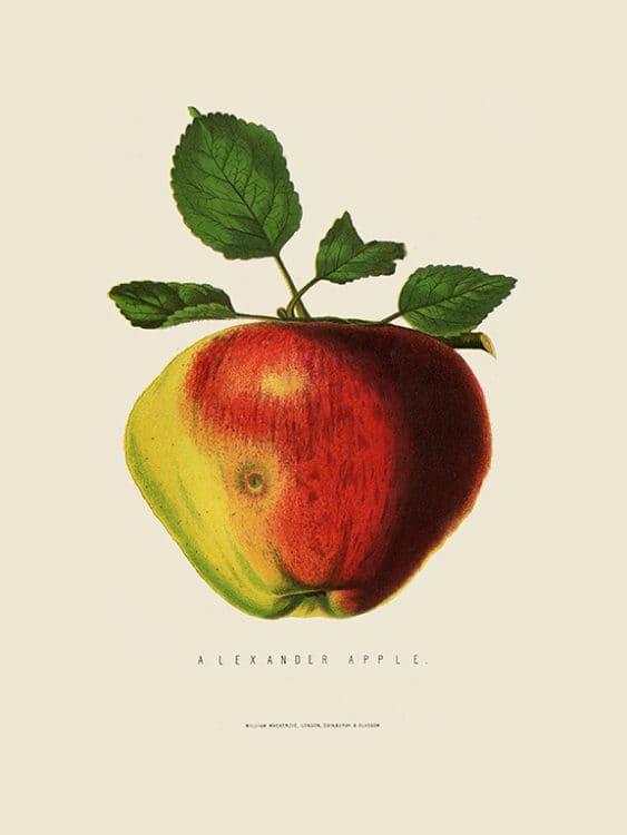 Fruit-Apple-Fr1 - Framed Vintage Artwork from Interior Elements, Eagle WI