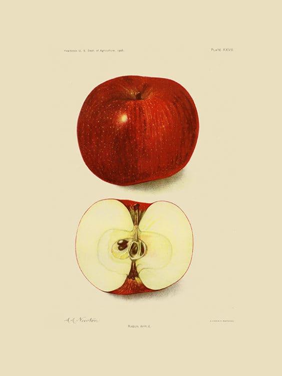 Fruit-Apple-FrA2 - Framed Vintage Artwork from Interior Elements, Eagle WI