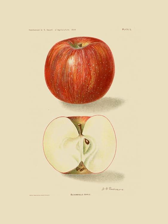 Fruit-Apple-FrA5 - Framed Vintage Artwork from Interior Elements, Eagle WI