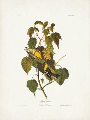 Audubon Hemlock Warbler
